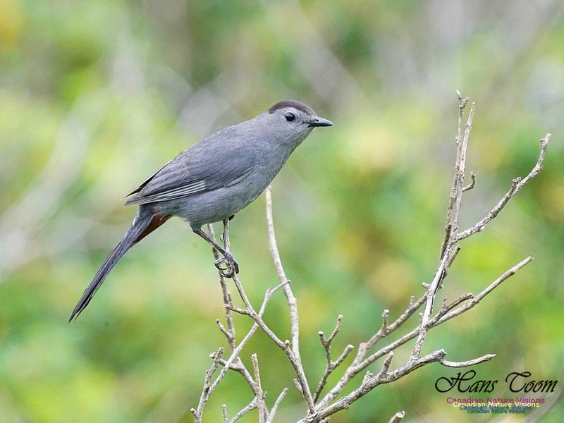 Grey Catbird 212