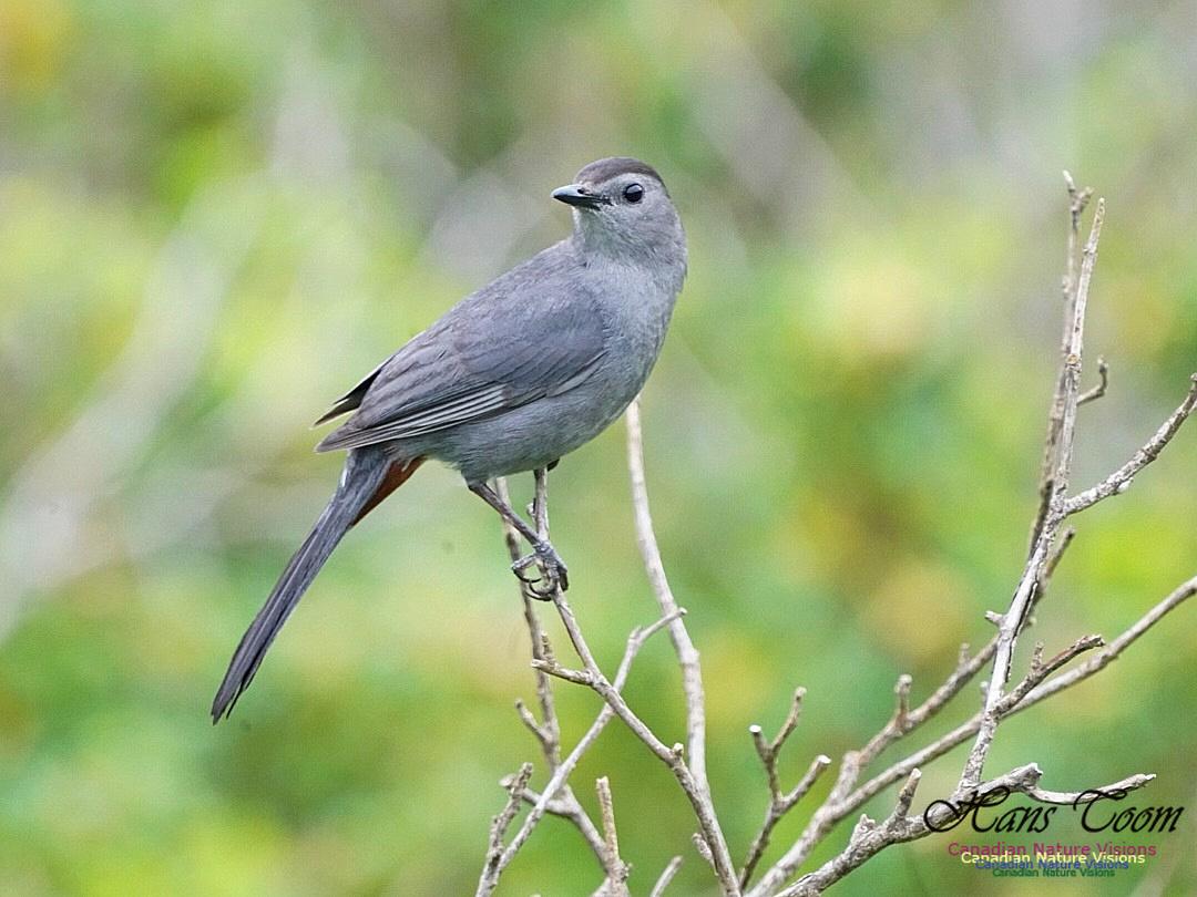 Grey Catbird 213