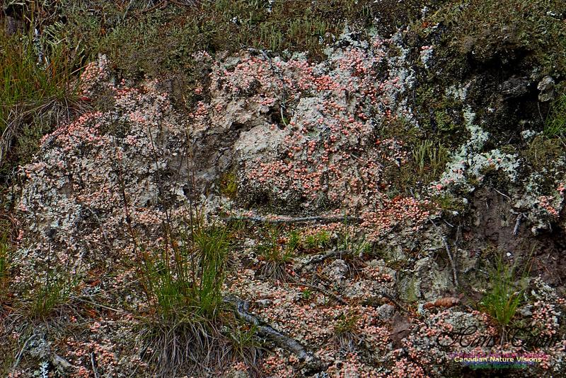 Red Lichen 210
