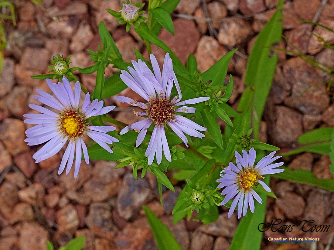 New England Aster 210