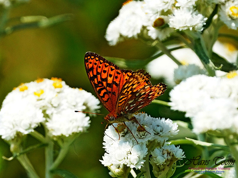 Fritillary and Friends 241
