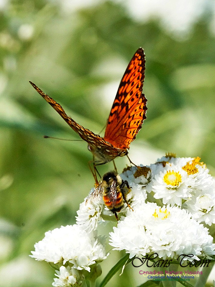 Frittillary and Native Bee 240