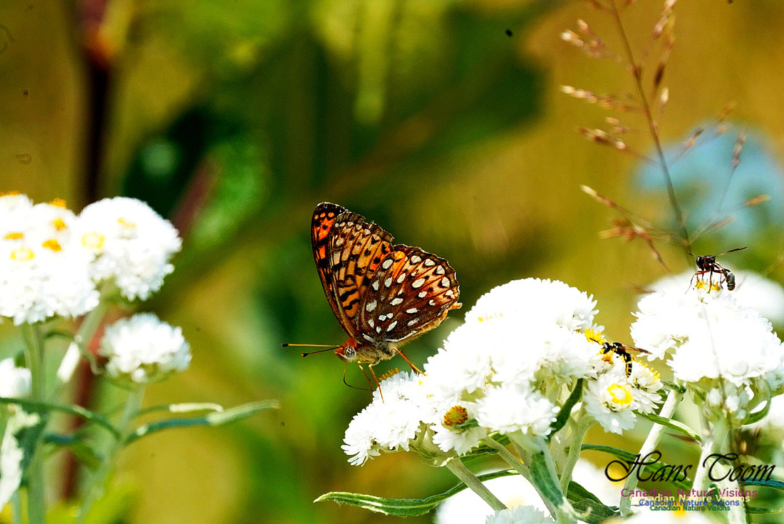 Fritillary and Friends 240