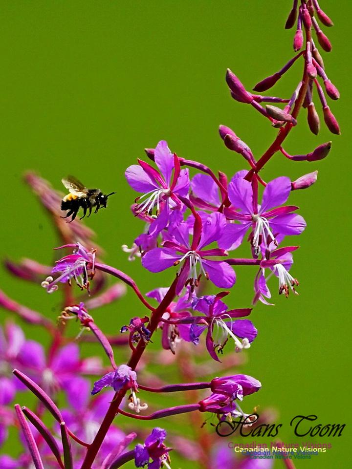 Fireweed and Bumblebee 2401