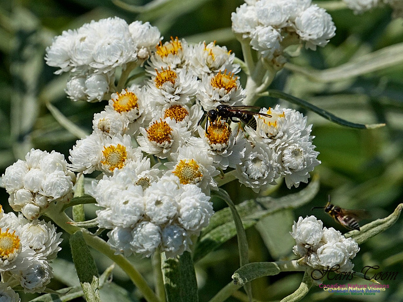 Pearly Everlasting 2402