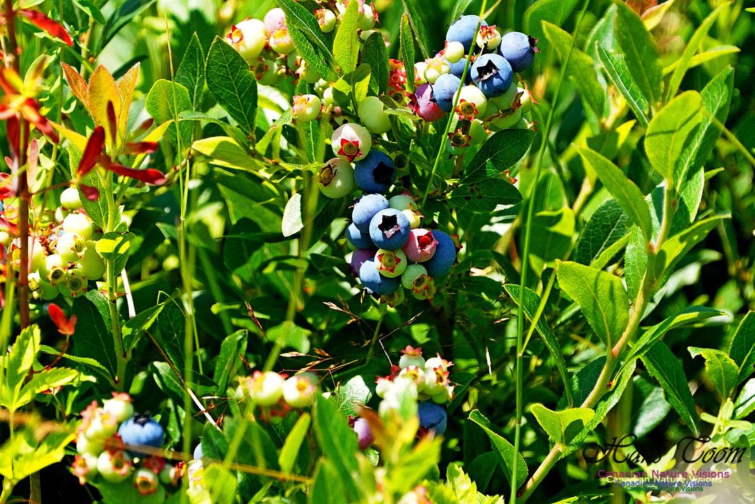 Blueberries 240