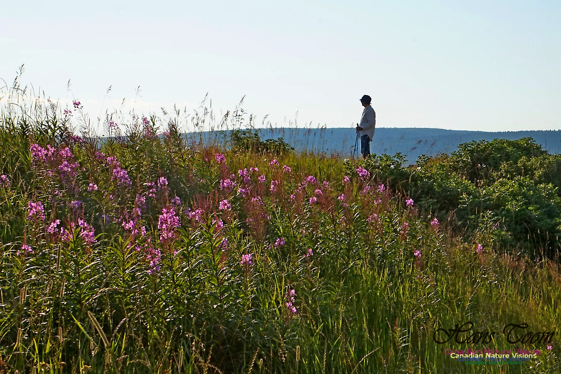 Hiker and Fireweed 2401