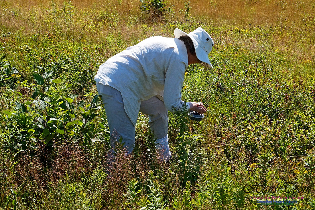 Picking Blueberries 2401
