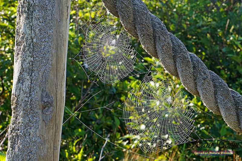 Webs in the Morning 2503