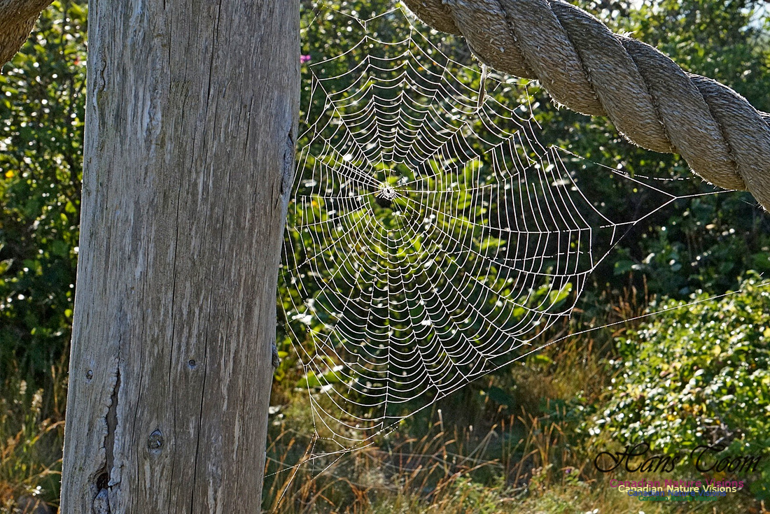 Webs in the Morning 2502