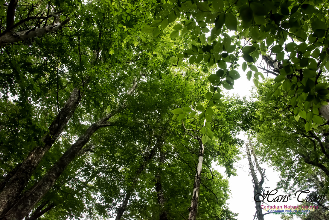 The Roof of the Old Growth Forest
