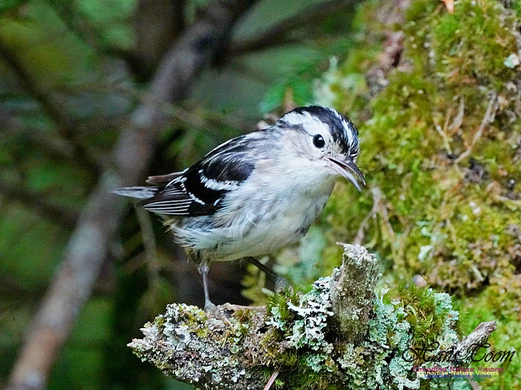Black-and-White Warbler 2601