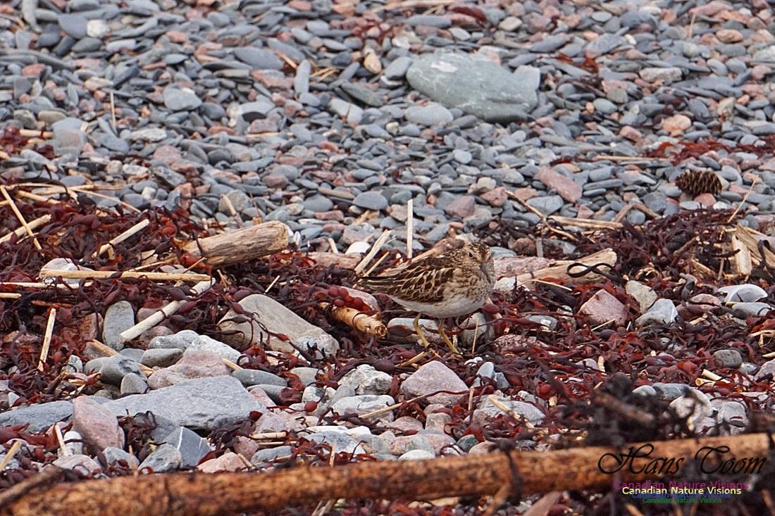 Least Sandpiper 2701