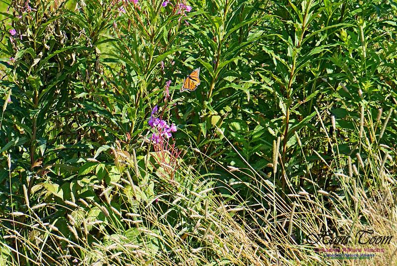 Monarch Butterfly 2801