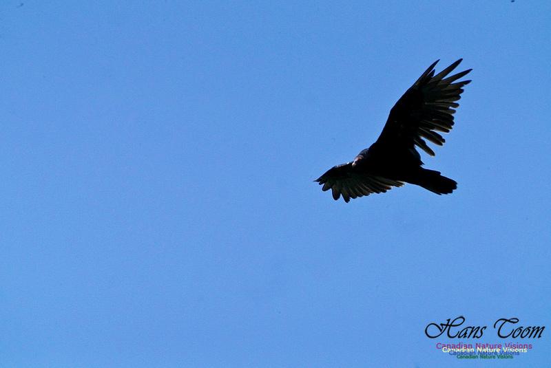 Turkey Vulture 2801