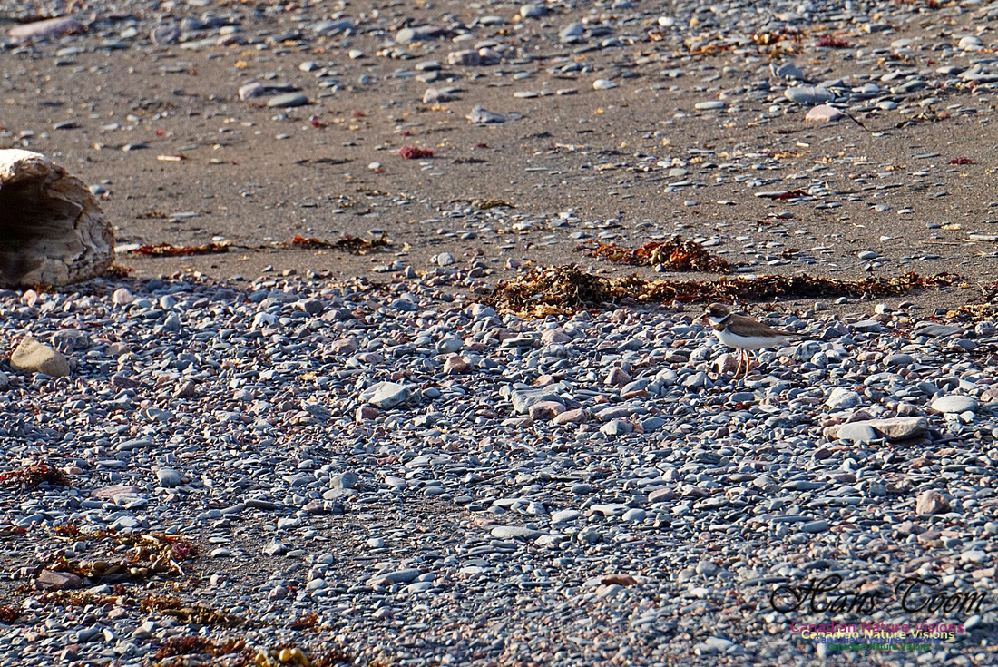 Semipalmated Plover 2801