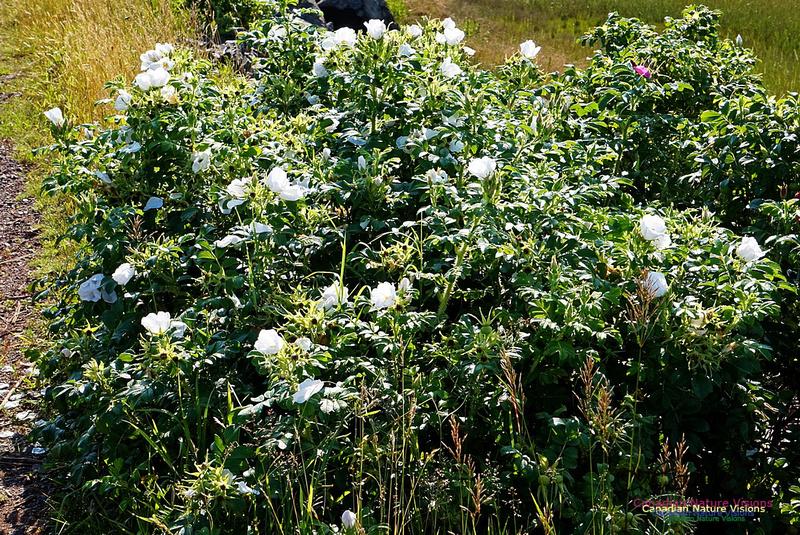 White Rose 2801