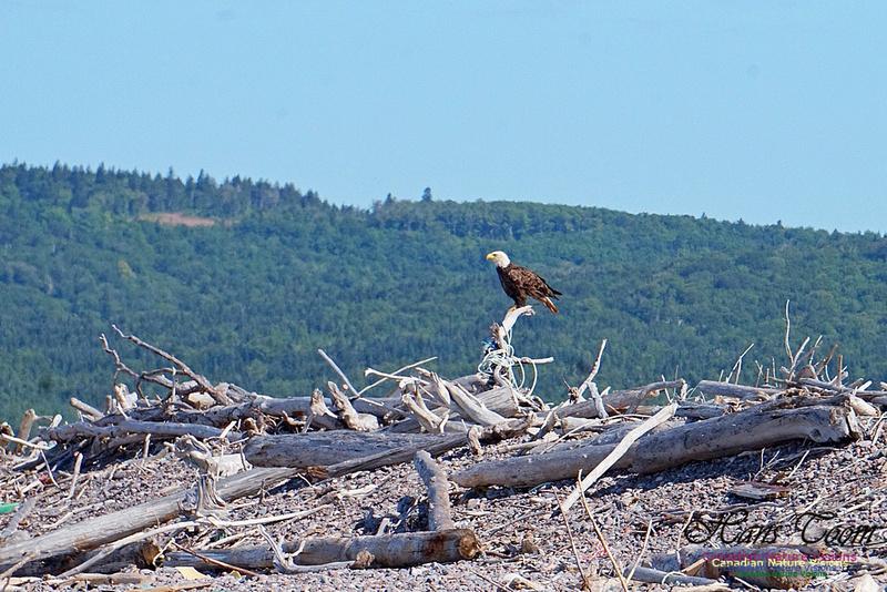 Bald Eagle 2801