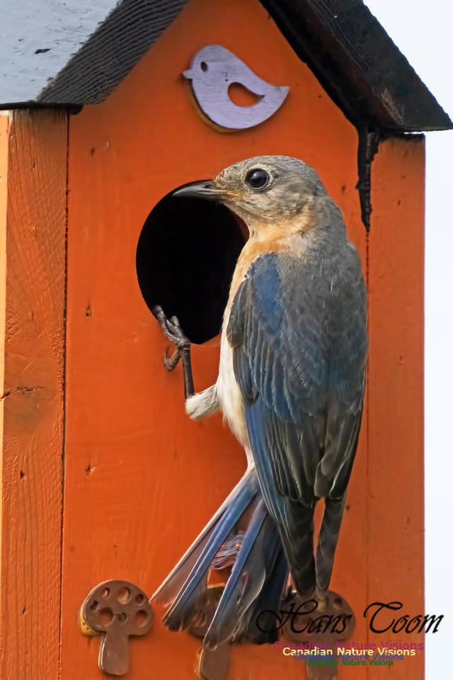 Eastern Bluebird 1002