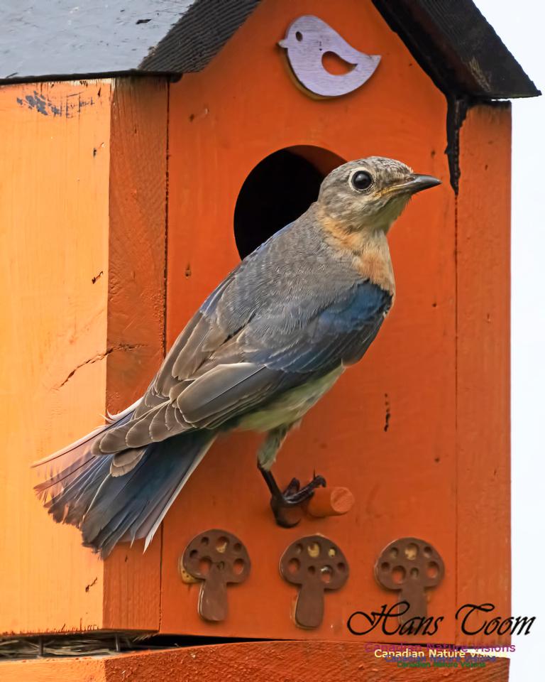 Eastern Bluebird 1005