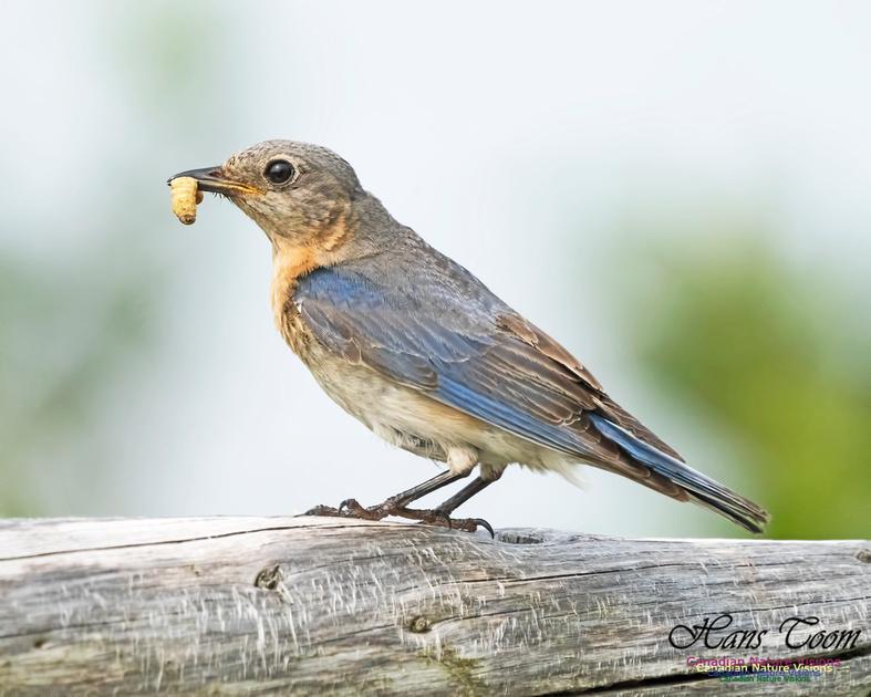 Eastern Bluebird 1001