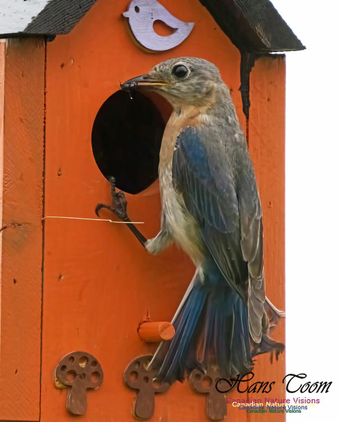 Eastern Bluebird 1007