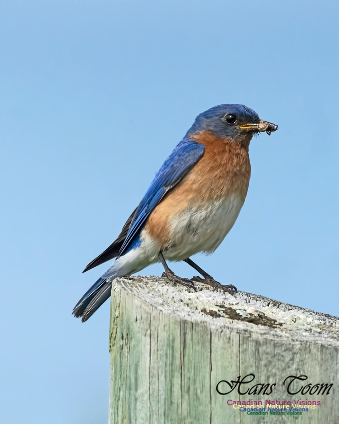 Eastern Bluebird 1000