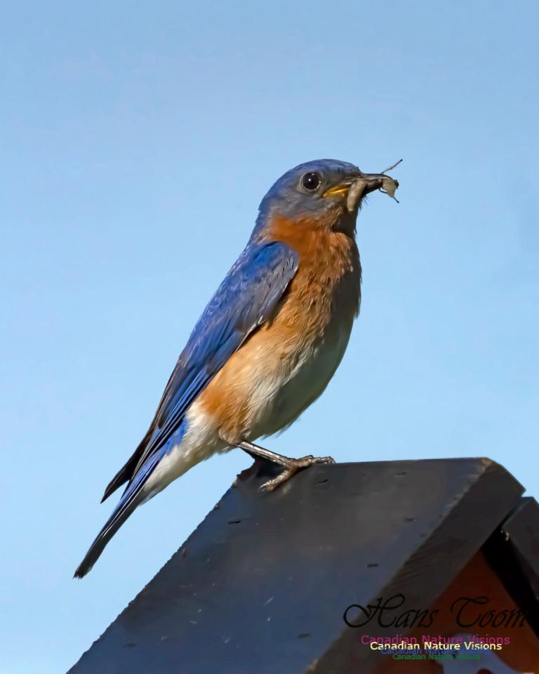 Eastern Bluebird 2004