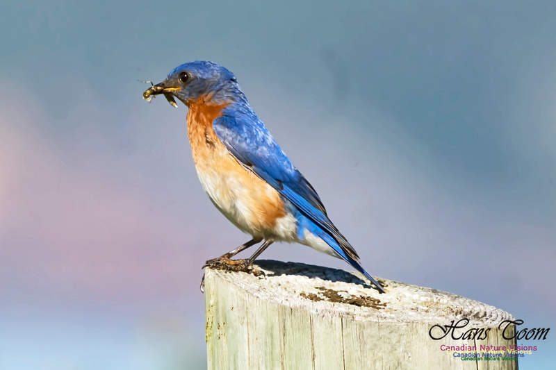 Eastern Bluebird 2001