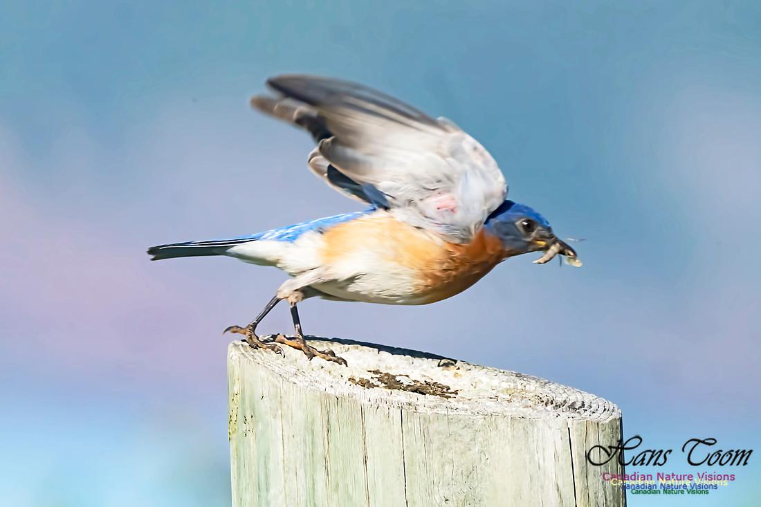 Eastern Bluebird 2000
