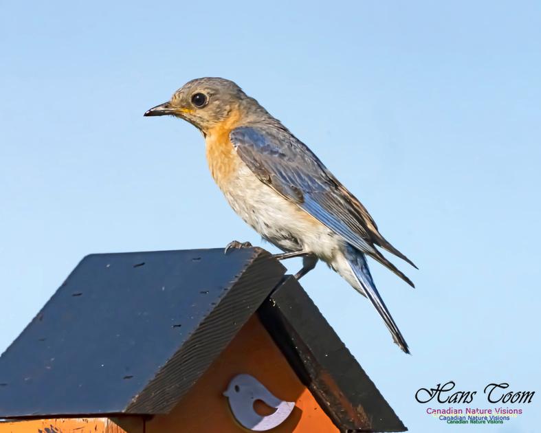 Eastern Bluebird 2005