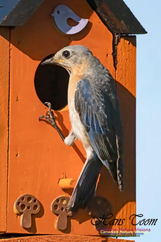 Eastern Bluebird 2006