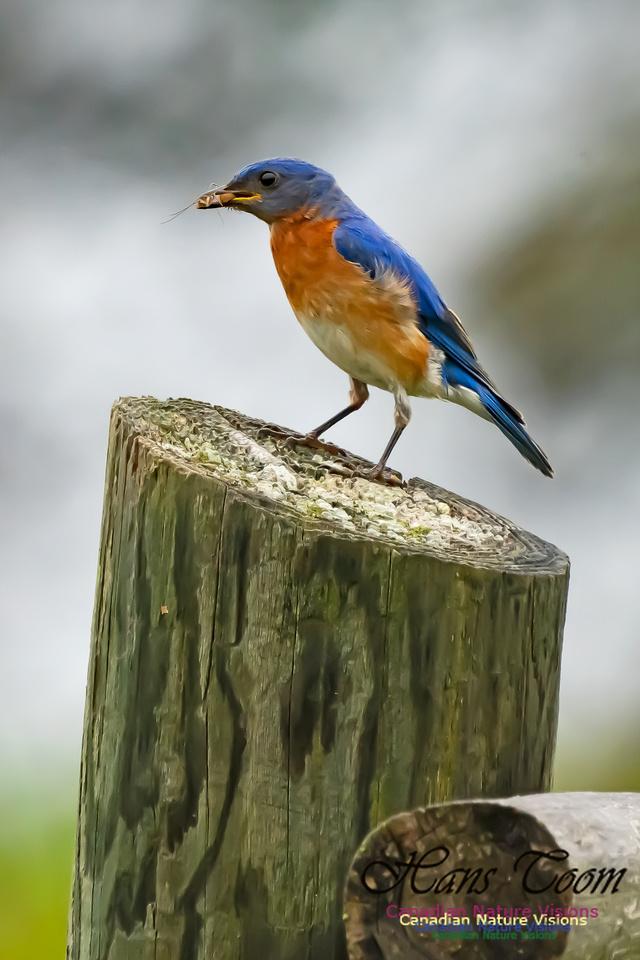 Eastern Bluebird 3005