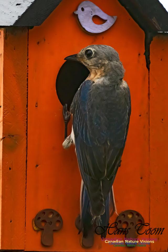 Eastern Bluebird 3006