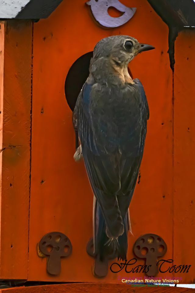 Eastern Bluebird 3007