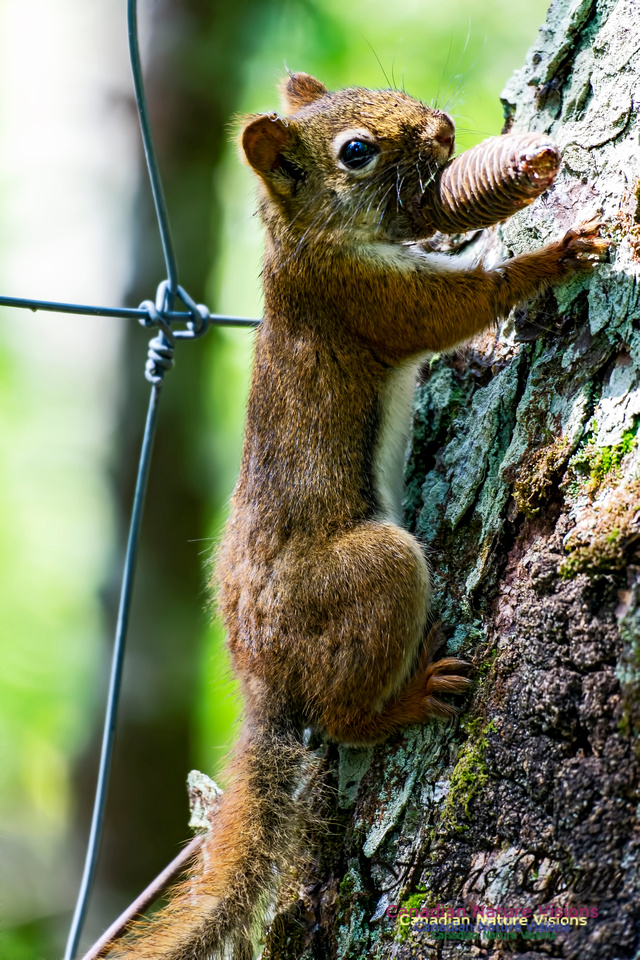 Red Squirrel 1001