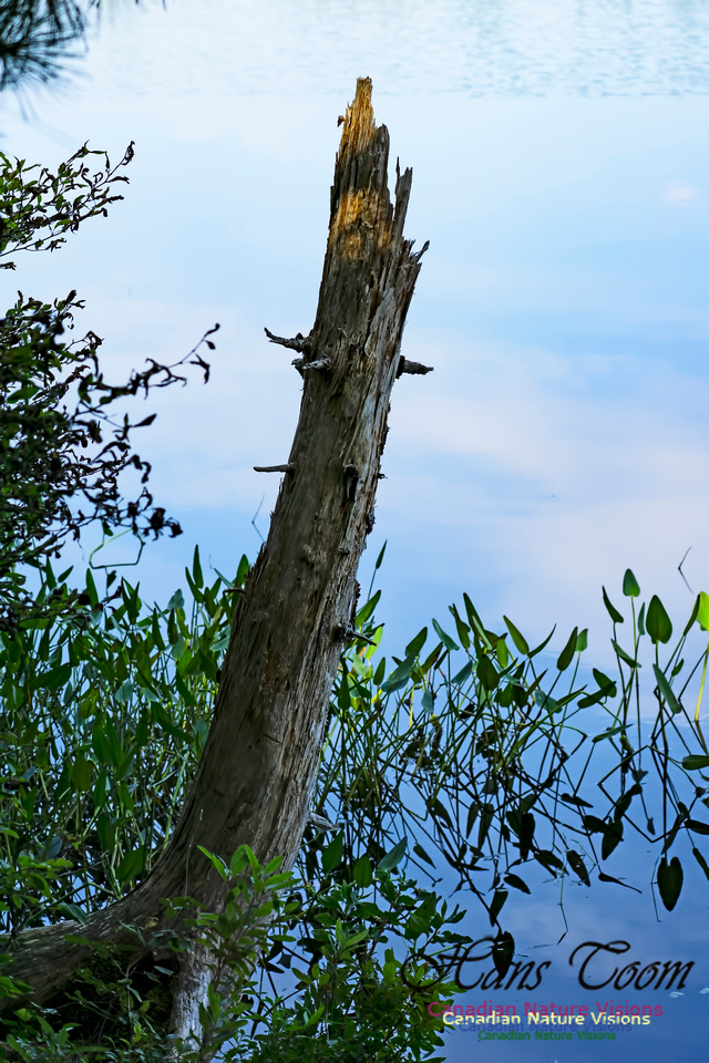 Stump and Pickerel Weed 1000