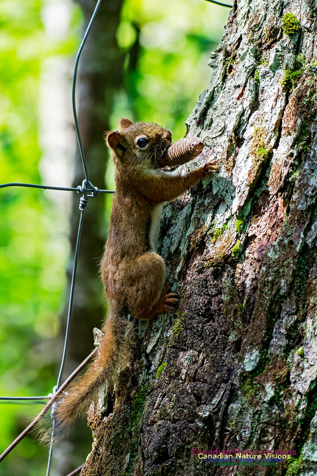 Red Squirrel 1000