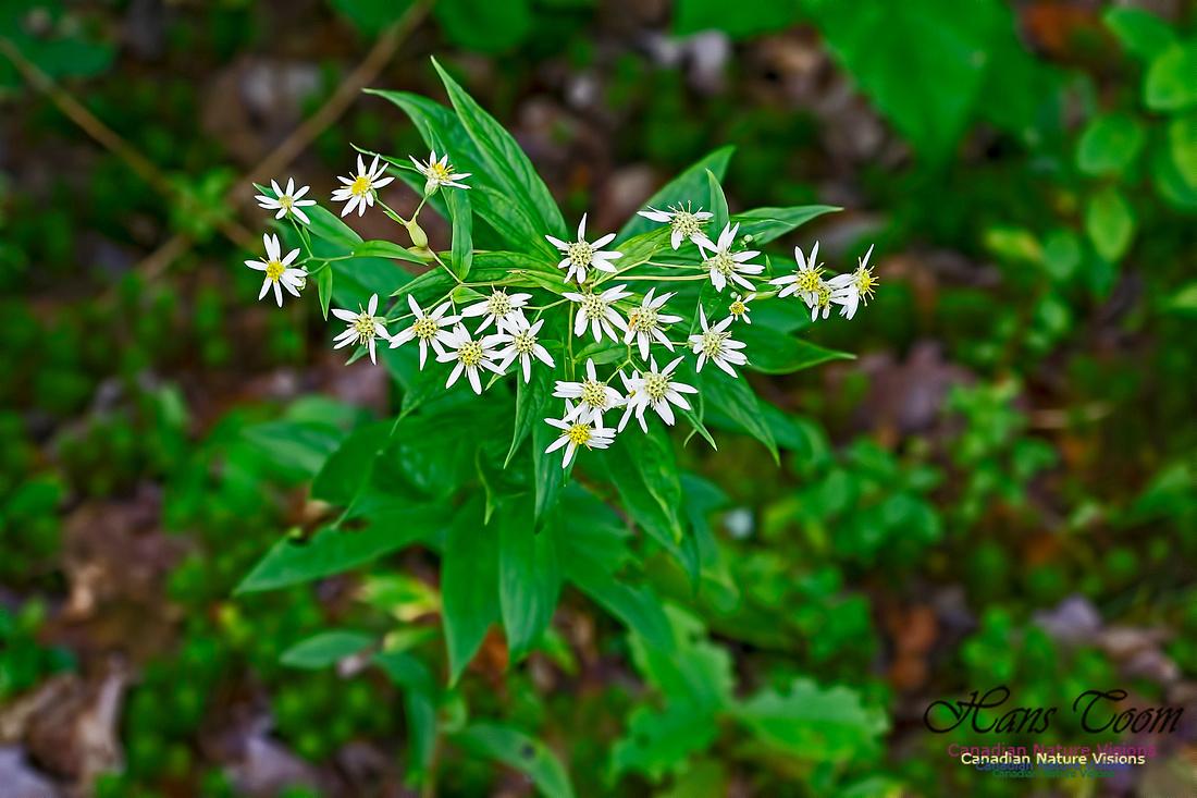Wildflower 1000