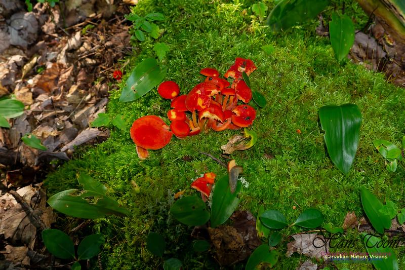 Mushroom 1001