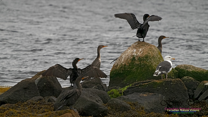 Double Crested Cormorant 101