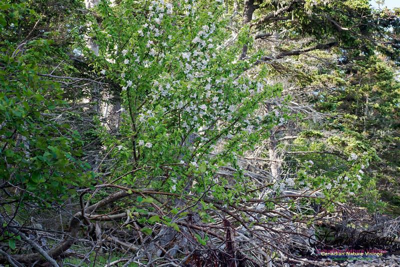 Apple Tree Blossom