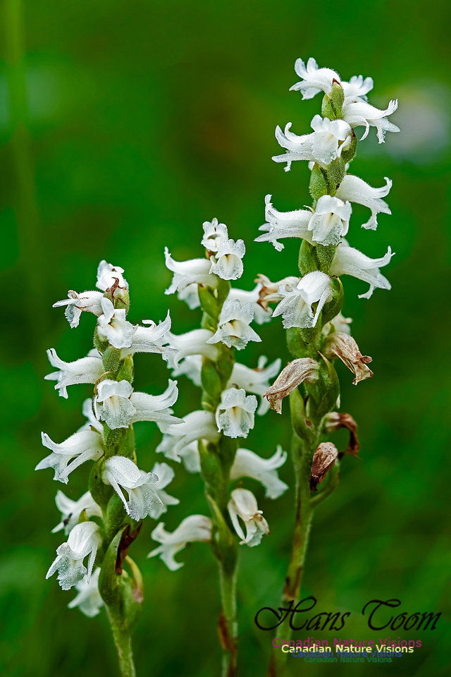 Lady's  Tresses Orchid 101