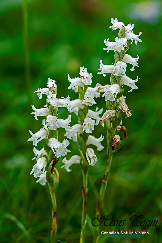 Lady's  Tresses Orchid 102