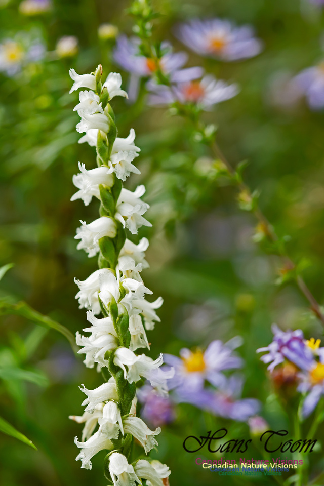 Lady's  Tresses Orchid 105
