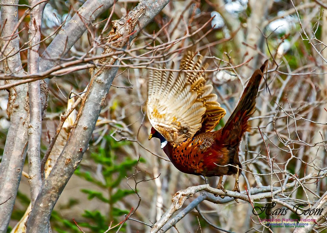 Ring-necked Pheasant 100