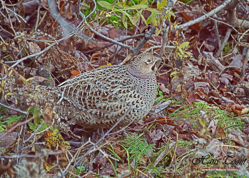 Ring-necked Pheasant 103
