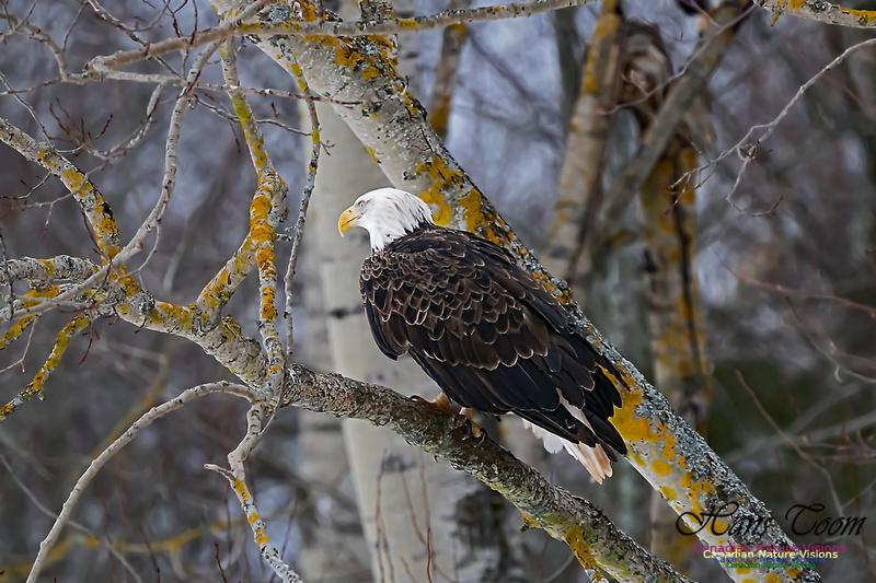 Bald Eagle 104