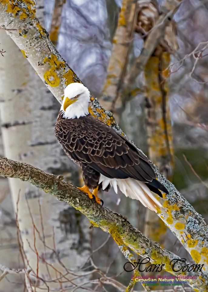 Bald Eagle 108