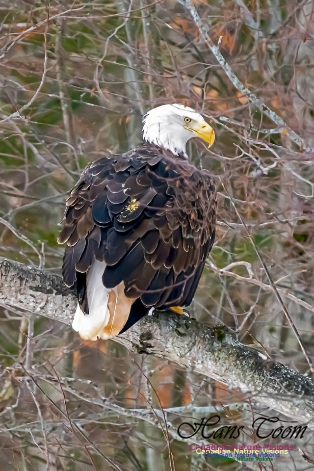 Bald Eagle 106
